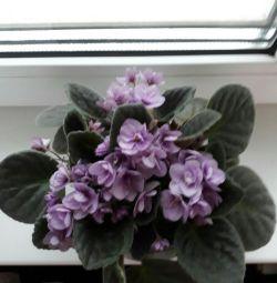 Flowers violets.