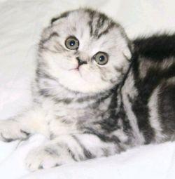 мраморные вислоухие котята