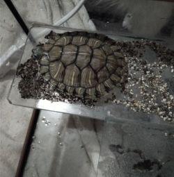 Voi lua darul broaștelor țestoase
