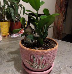 Ficus Moclamé