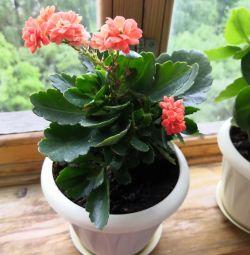 Flower room Kalanchoe