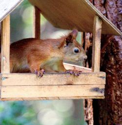 Alvei veverițe