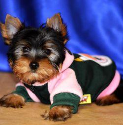 Yorkshire Terrier-Philipush