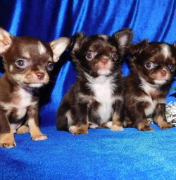 Fashionable chocolate color puppies