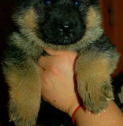 Немецкая овчарка щенки.