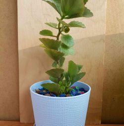 Kalanchoe of Blossfeld (color of fuchsia)