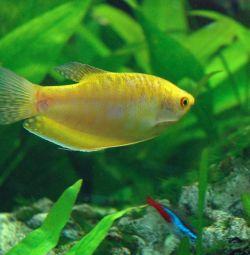 Akvaryum balıkları Gurami altın.