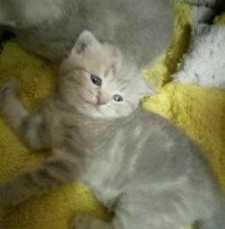 Σκωτσέζικο γατάκι