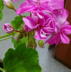 Pink geranium, the one on the photo