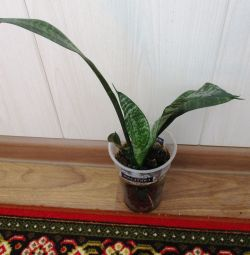 Indoor flower Sansevieria