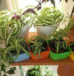 Chlorophytum σγουρά