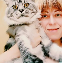 Кот Мейн Кун для вязки