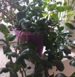 Коланхое, шикарний квітучий