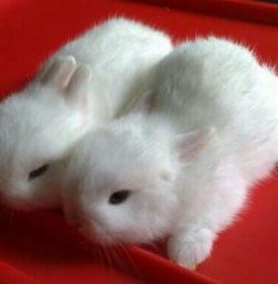 Pat de iepure ornamentali pitic copii