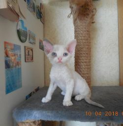 Devon Rex Devon Girl