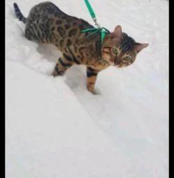 Pisica din Bengal