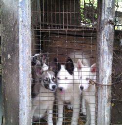 West Siberian Husky Puppies