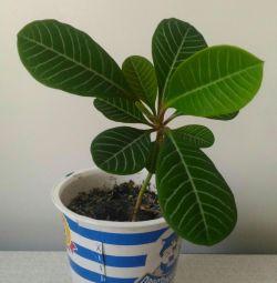 Euphorbia (monkey tree)