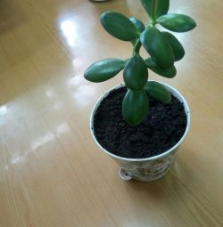 Tolstianka, redsula or money tree