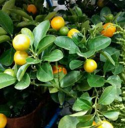 Мандариновое дерево с плодами