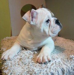 Beauties girls english bulldog