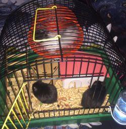 Angorii hamsteri + 2 cuști