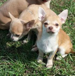 Yavru Chihuahua