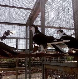Porumbei fără alegere și cu o alegere