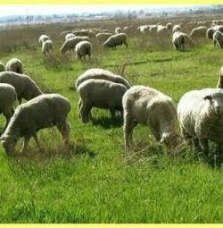 Sheep on Kurban Bayram