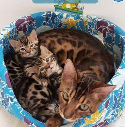 Шоу Бенгал котята бенгальские премиум