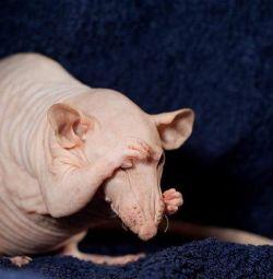 cheaguri de șobolani șobolani