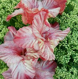 Gladiolus Castor Exotic and Altair Exotic