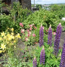 φυτά πολυετών λουλουδιών