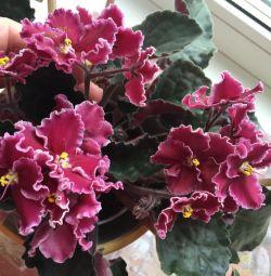 Violete bebeluși