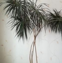 Palmier de 2,4 m înălțime