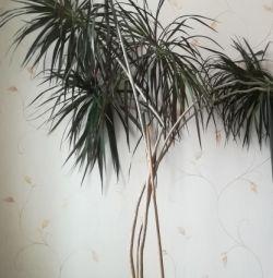 Palm tree 2.4 m high