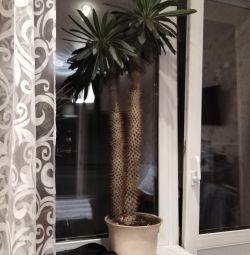 Підлогове рослина похіполіум