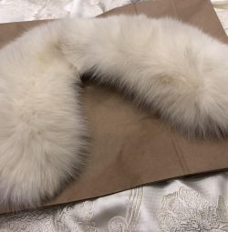 Collar Arctic fox