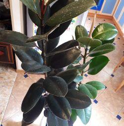 Ficus Abidjan height 1.5 m (2 different varieties) bargaining