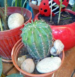 Cactus 10cm