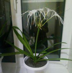 Gimenokallis flower