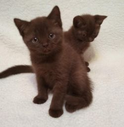 Pisici de culoare ciocolata britanica