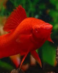 Рубиновые красноглазые меченосцы
