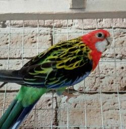 Rosella with a cage, a pair