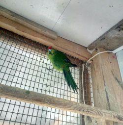 Parrot kakarik male
