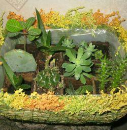 сукулентні рослини