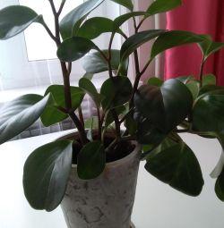 Peperomia plantelor