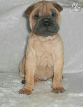 Shar Pei puppies of different colors from the nursery