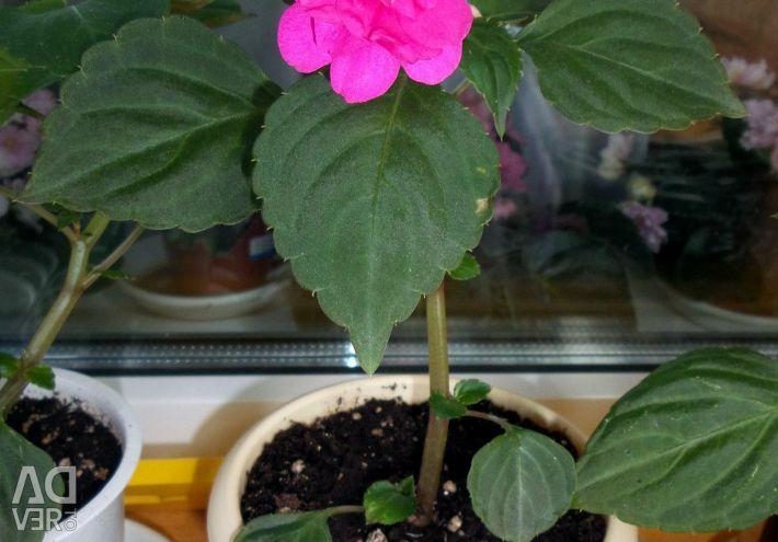 Terry flowers Balsamin