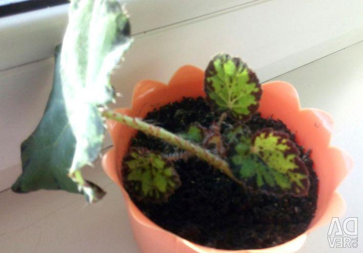 Tiger begonia (baby)